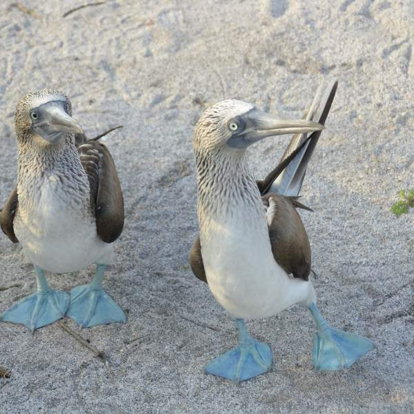 The Blue-Footed Boobies and their charming little air