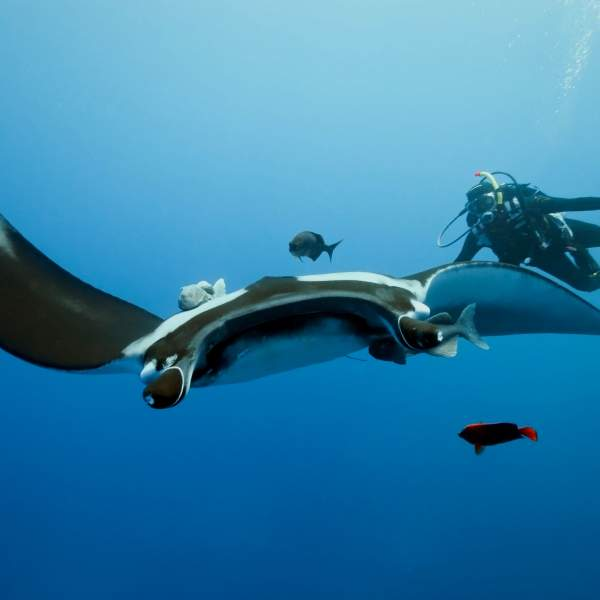 Swim with the manta rays