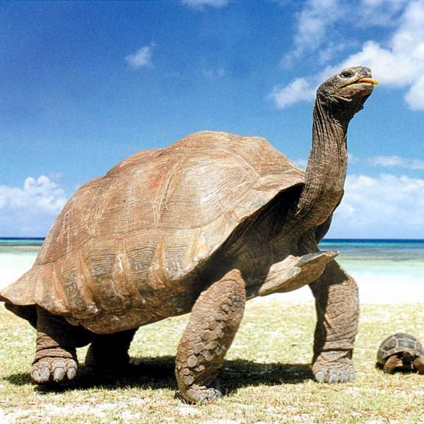 The giant turtles on Curieuse Island