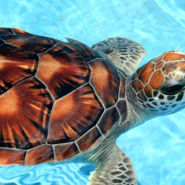 A sea turtle from the farm