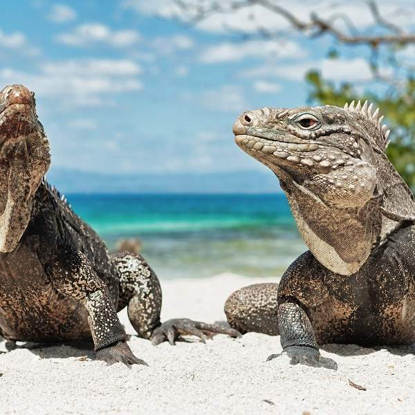Look at these iguanas!