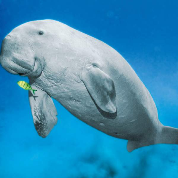Will you be lucky enough to spot the rare dugong?