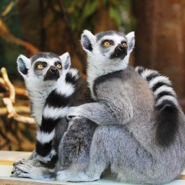 The Makis (ring-tailed lemurs)